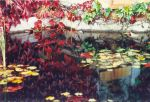 Boston Ivy (Parthencocissus) reflected in lily pond