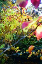 Persian ironwood or Persian Parrotia (Parrotia persica) with its fall foliage hues of vivid yellow, burnt orange and deep pure scarlet.  The yellow foliage is of the tree peony Peony lutea (Paeonia lutea)