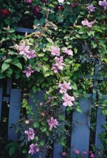 Clematis Sealand Gem provides rosy-mauve blooms with subtle carmine stripes to compliment the grey-blue foliage of the classic Rosa Glauca that was introduced into western horticulture in 1830