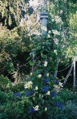The blue and white clematis are (Guernsey Cream and Maidwall Hall Macropetala).