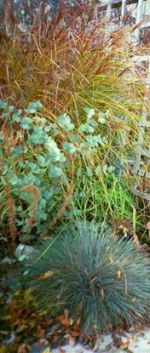 In the autumn the grasses provide the colour, here the blue of the festcue and the eucalyptus contrasts with the coppery tones of the tall turkey foot (Andropogon) grass
