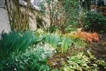 Spring bulbs immerging in the early spring later the evergreen ferns, Brunnera 'variegata', Arum italicum 'Marmoratum', False Solomon's Seal (Smilacina racemosa) will take center stage