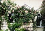 The side of a 1918 salt box house festooned with roses and clematis growing on classic trelliswork echoes a time gone by